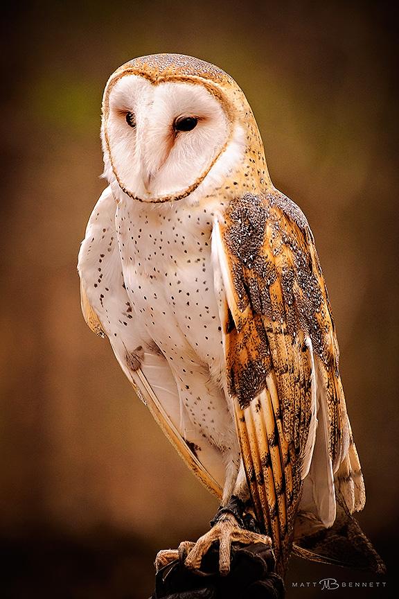 Barn Owl at Carolina Raptor Center
