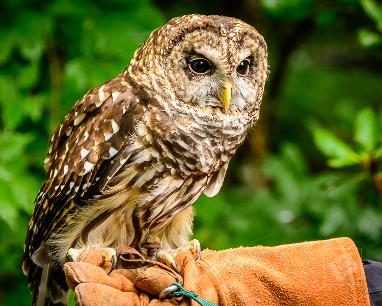 Barred owl at Grandfather Mountain