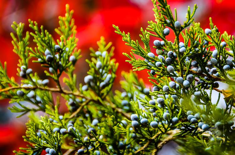 Red cedar juniper berries