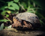 Box turtle-35