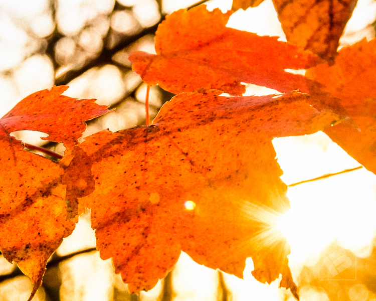Maple leaves in sunlight-8204