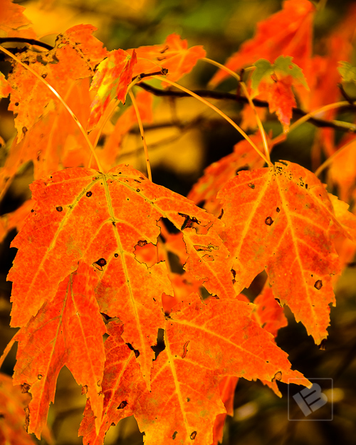Red maple leaves-4539