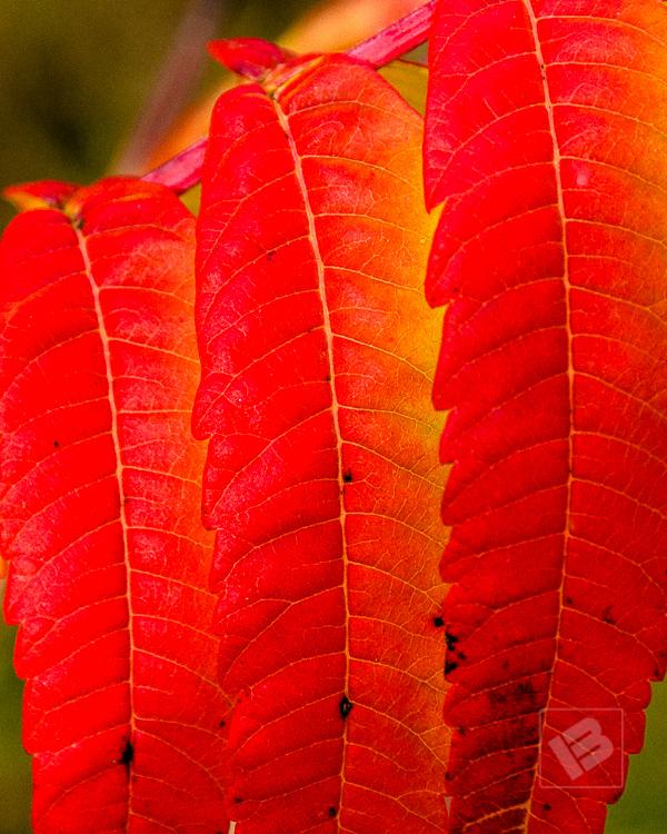 Sumac leaves-4696